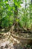 A árvore maciça é suportada pelo parque de Tangkoko das raizes Imagem de Stock Royalty Free