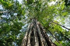 A árvore maciça é suportada pelo parque de Tangkoko das raizes Fotografia de Stock Royalty Free
