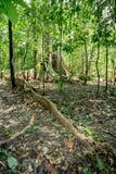 A árvore maciça é suportada pelo parque de Tangkoko das raizes Fotos de Stock Royalty Free