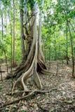 A árvore maciça é suportada pelo parque de Tangkoko das raizes Fotografia de Stock