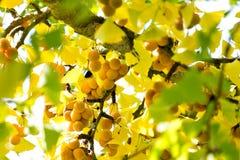 Árvore madura de Biloba Maidenhair da nogueira-do-Japão de Ginkgophyta do Ginkgoaceae do fruto da nogueira-do-Japão Imagens de Stock