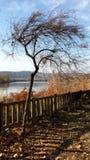 Árvore magricela pelo lago fotos de stock
