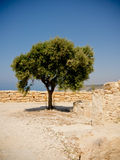 Árvore mediterrânea Imagem de Stock
