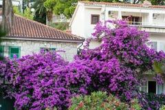 Árvore mediterrânea da flor na costa adriático Imagem de Stock