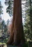 Árvore milenar majestosa antiga Sequoia gigante imagens de stock royalty free