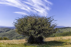 Árvore Monti della Laga Foto de Stock