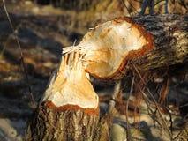 Árvore mordida castor Imagens de Stock Royalty Free