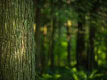 Árvore Mossy na floresta a mais verde Imagens de Stock