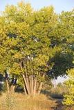 Árvore Muito-Trunked na luz solar da tarde Fotos de Stock Royalty Free