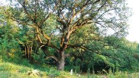 Árvore muito velha fotografia de stock royalty free