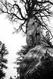 Árvore muito velha monocromática dos mortos no parque nacional de Yosemite com uma estrutura de madeira incrível fotografia de stock royalty free