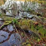 Árvore musgo-coberta caída em uma costa do lago Imagem de Stock Royalty Free