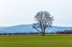 Árvore na área rural Fotografia de Stock