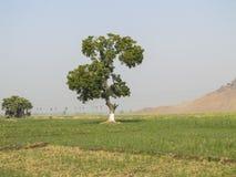 Árvore na exploração agrícola Fotos de Stock