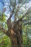Árvore na floresta e em uma caixa de vidro Foto de Stock