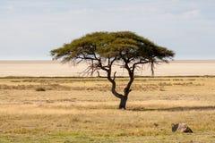 Árvore na frente da bandeja de sal, parque nacional de Etosha, Namíbia Foto de Stock