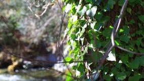 Árvore na frente de um rio pirenaico vídeos de arquivo