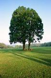 Árvore na manhã Fotos de Stock Royalty Free