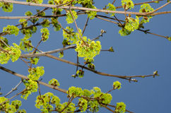 Árvore na mola Imagens de Stock Royalty Free