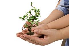 Árvore na palma da mão Foto de Stock