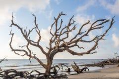 Árvore na praia da madeira lançada à costa, ilha de Jekyll, Geórgia fotografia de stock royalty free