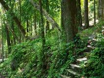 Árvore na selva no parque nacional Phang Nga de Khaolak-Lumru, Tailândia Imagens de Stock Royalty Free