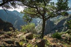 Árvore nervosa no Ridge do desfiladeiro real imagem de stock royalty free
