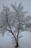 árvore nevado Fotografia de Stock