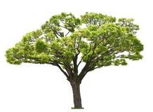 Árvore no branco Imagens de Stock