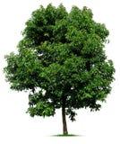 Árvore no branco Imagens de Stock Royalty Free