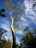 Árvore no céu Fotos de Stock Royalty Free