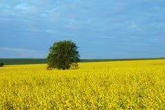 Árvore no campo Imagem de Stock