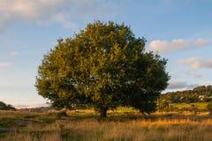 Árvore no campo Foto de Stock