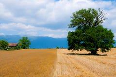 Árvore no campo de grão fotografia de stock royalty free