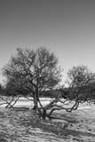 Árvore no campo de Marsovo Fotos de Stock Royalty Free