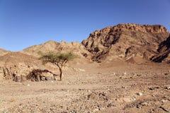 Árvore no deserto Foto de Stock Royalty Free