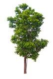 Árvore no fundo branco Foto de Stock