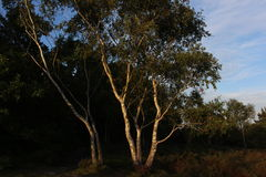 Árvore no meio da floresta com efeitos verdes Foto de Stock Royalty Free