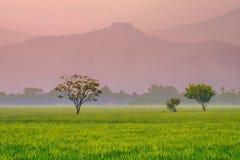 Árvore, no meio do campo do arroz Imagem de Stock