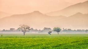 Árvore, no meio do campo do arroz Imagens de Stock Royalty Free