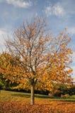 Árvore no outono fotos de stock royalty free