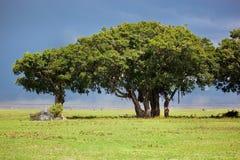 Árvore no savana. Ngorongoro, Tanzânia, África Imagens de Stock Royalty Free