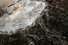 Árvore no sepia Foto de Stock Royalty Free