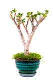 Árvore no vaso Imagem de Stock