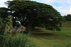 Árvore norte do verde de oahu da costa imagens de stock royalty free