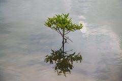 Árvore nos manguezais Imagem de Stock Royalty Free