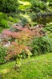 Árvore nova com folhas cor-de-rosa Foto de Stock Royalty Free