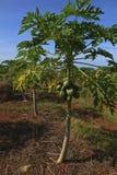 Árvore nova com frutas da manga Fotos de Stock