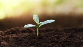 Árvore nova do dinheiro da planta do jade que cresce no solo filme