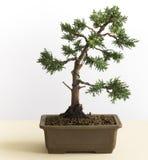 Árvore nova dos bonsais fotografia de stock royalty free
